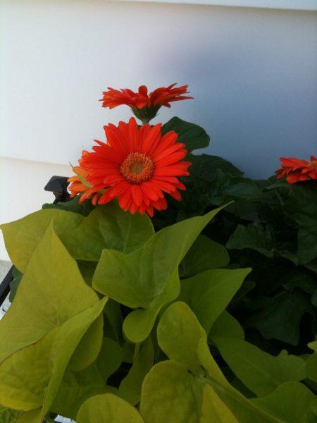 Close up daisies